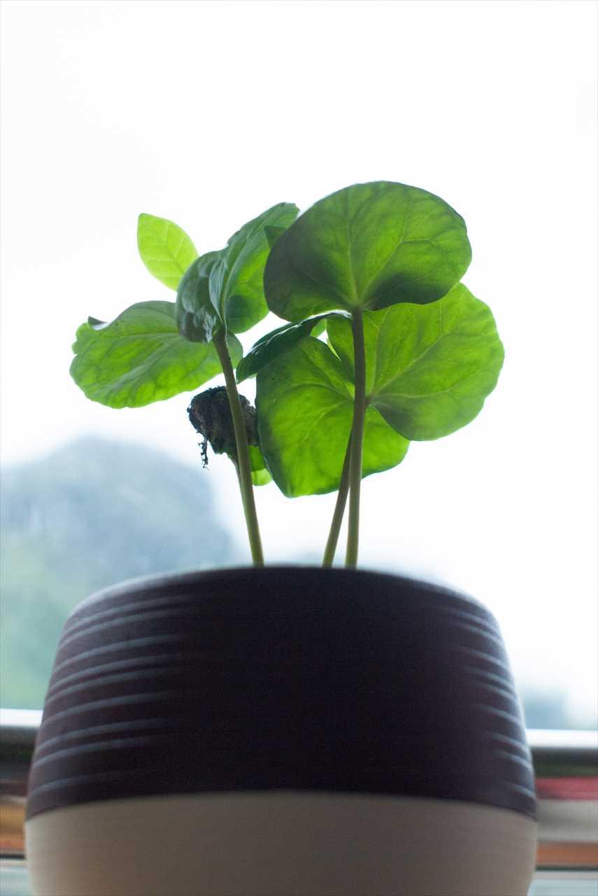 1本だけ成長が遅れてた小さなコーヒーの芽
