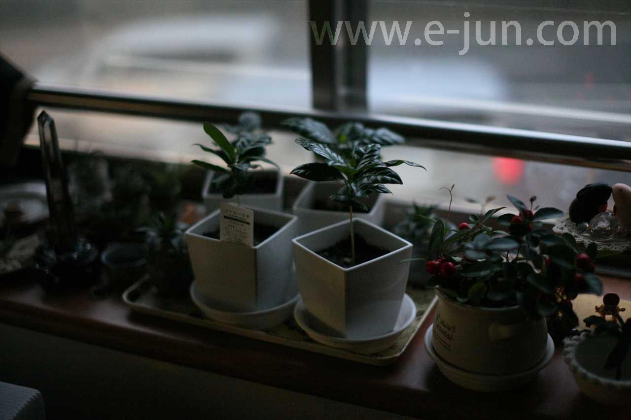 2016-11-24 夕暮れ時のコーヒーノキ
