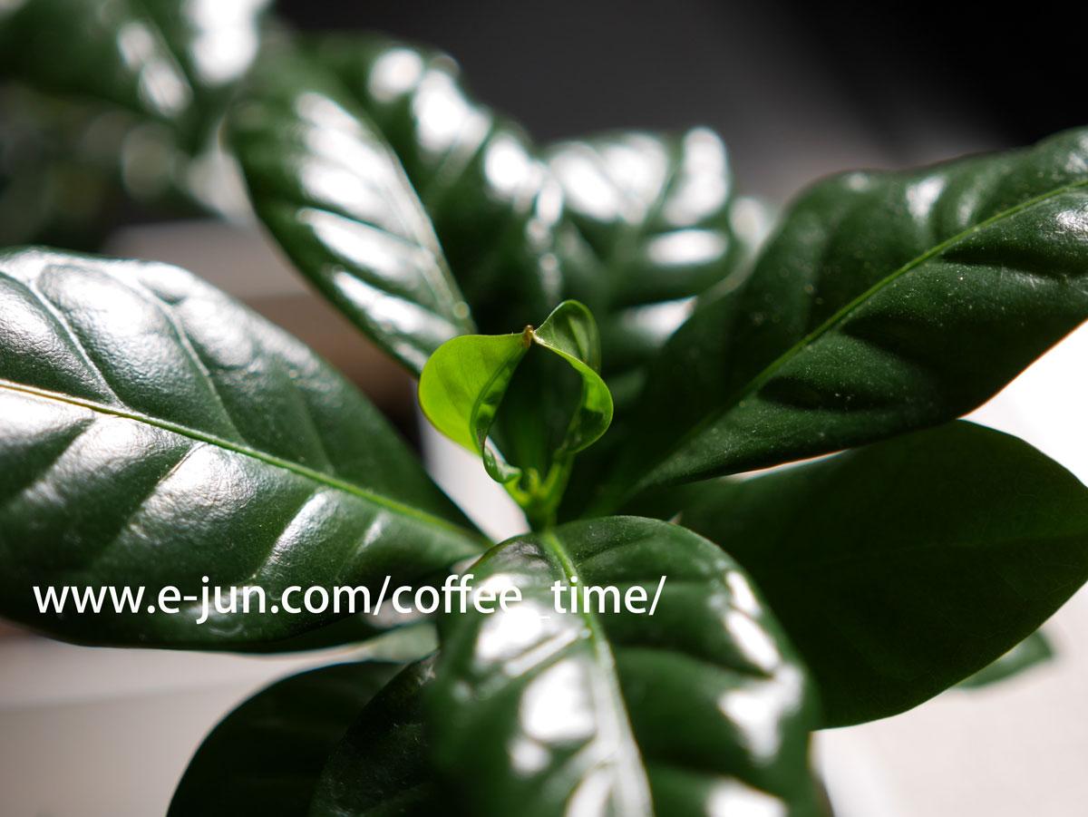2017-01-26 コーヒーノキの新芽の先端がくっついて繋がってしまう件